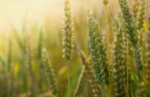 ceny zbóż