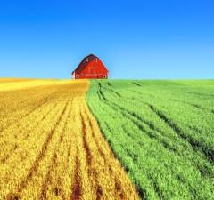 uprawa-pszenicy-ozimej